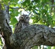 Baby Little Owl