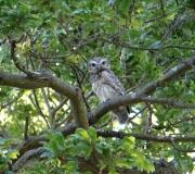 Baby Little Owl 2015