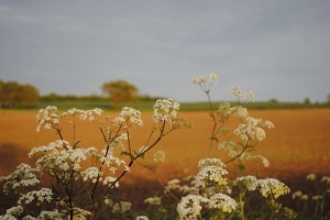 Cow Parsley by Emily Cushing