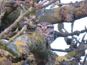 Little Owl 2016